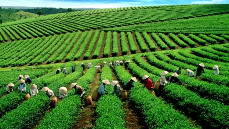 Pesticide use unjustly blights tea industry image