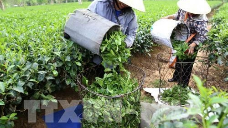 Vietnam's tea exports fall both volume and revenue