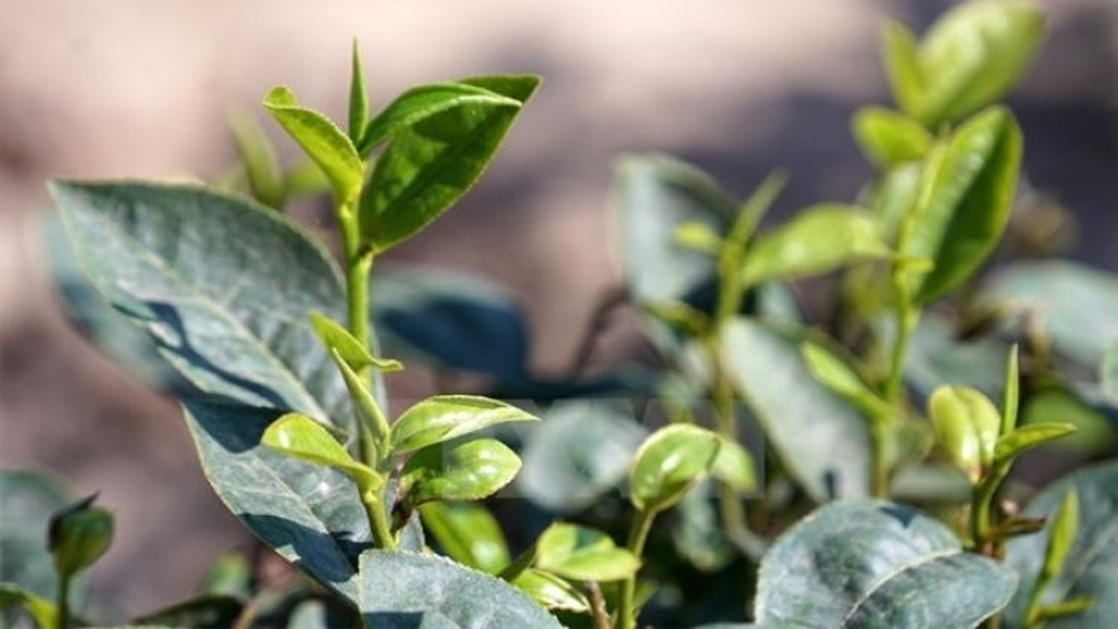 Vietnam's tea exports still in downtrend