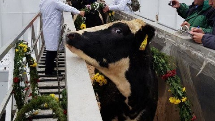 TH Group sends milch cows to Russian farm
