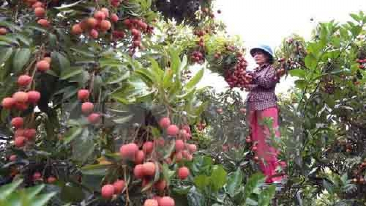 Bac Giang exports over 32,200 tonnes of lychee so far