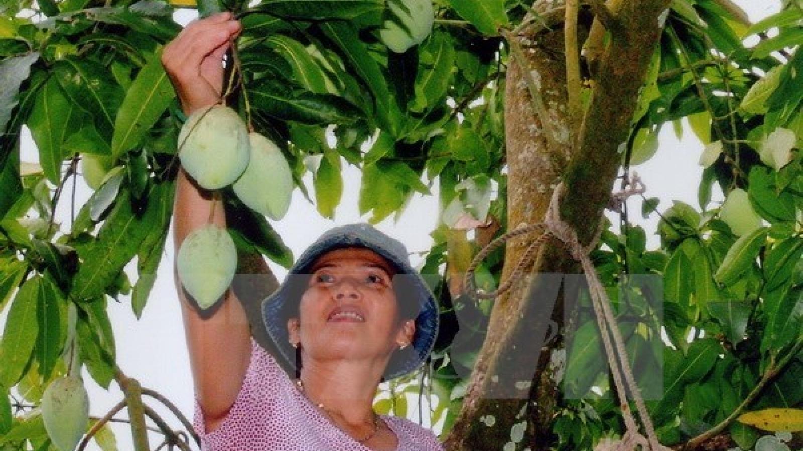 Son La-grown green mango to be shipped to Australia