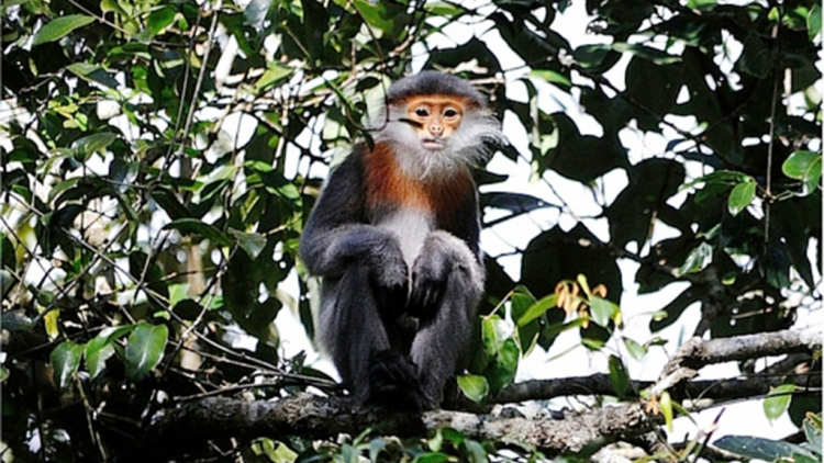 Over 500 critically endangered doucs discovered in Vietnam