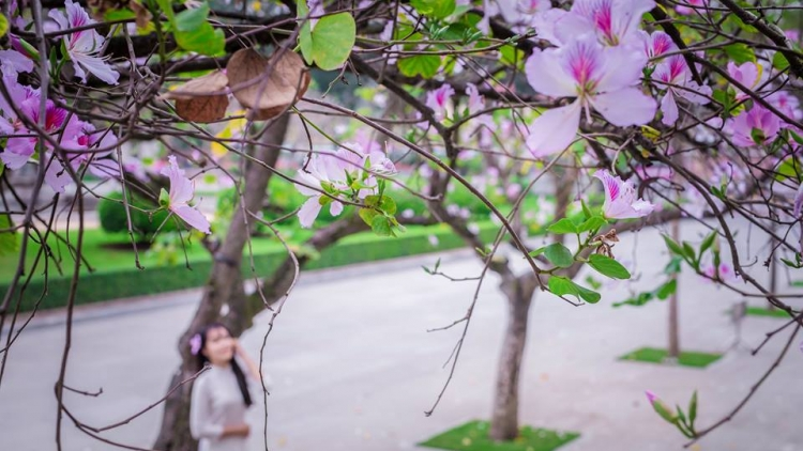Beautiful Hong Kong orchid tree blossoms of Hanoi