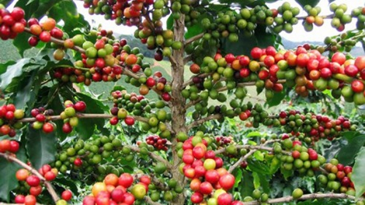 Value of coffee exports to Indonesia soars