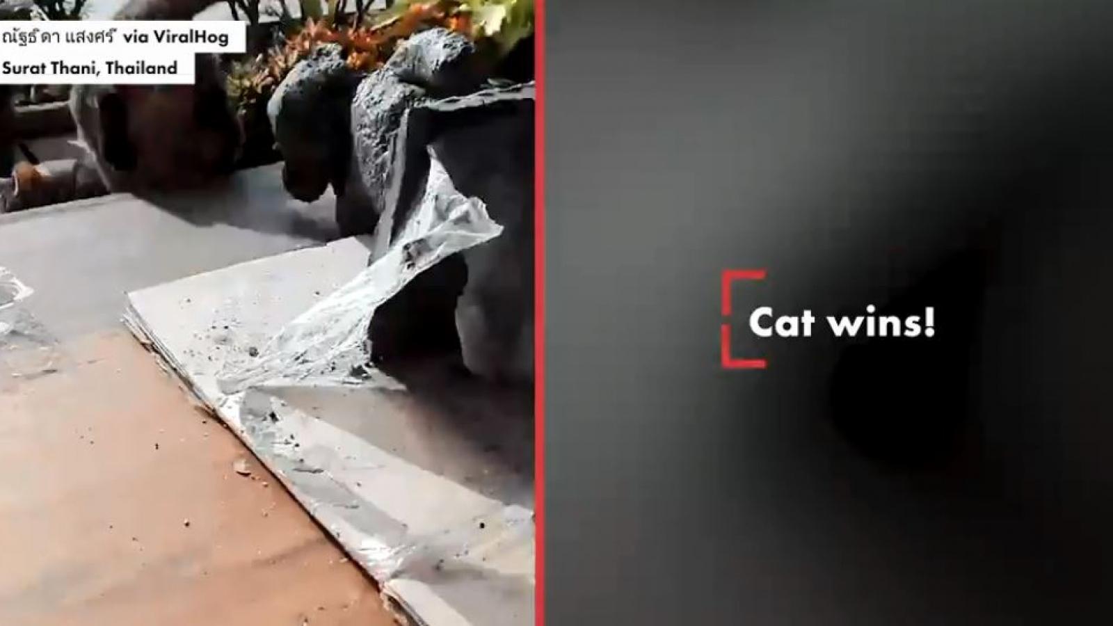 Bật cười chú mèo giận dữ tấn công bức tượng gấu koala đeo khẩu trang