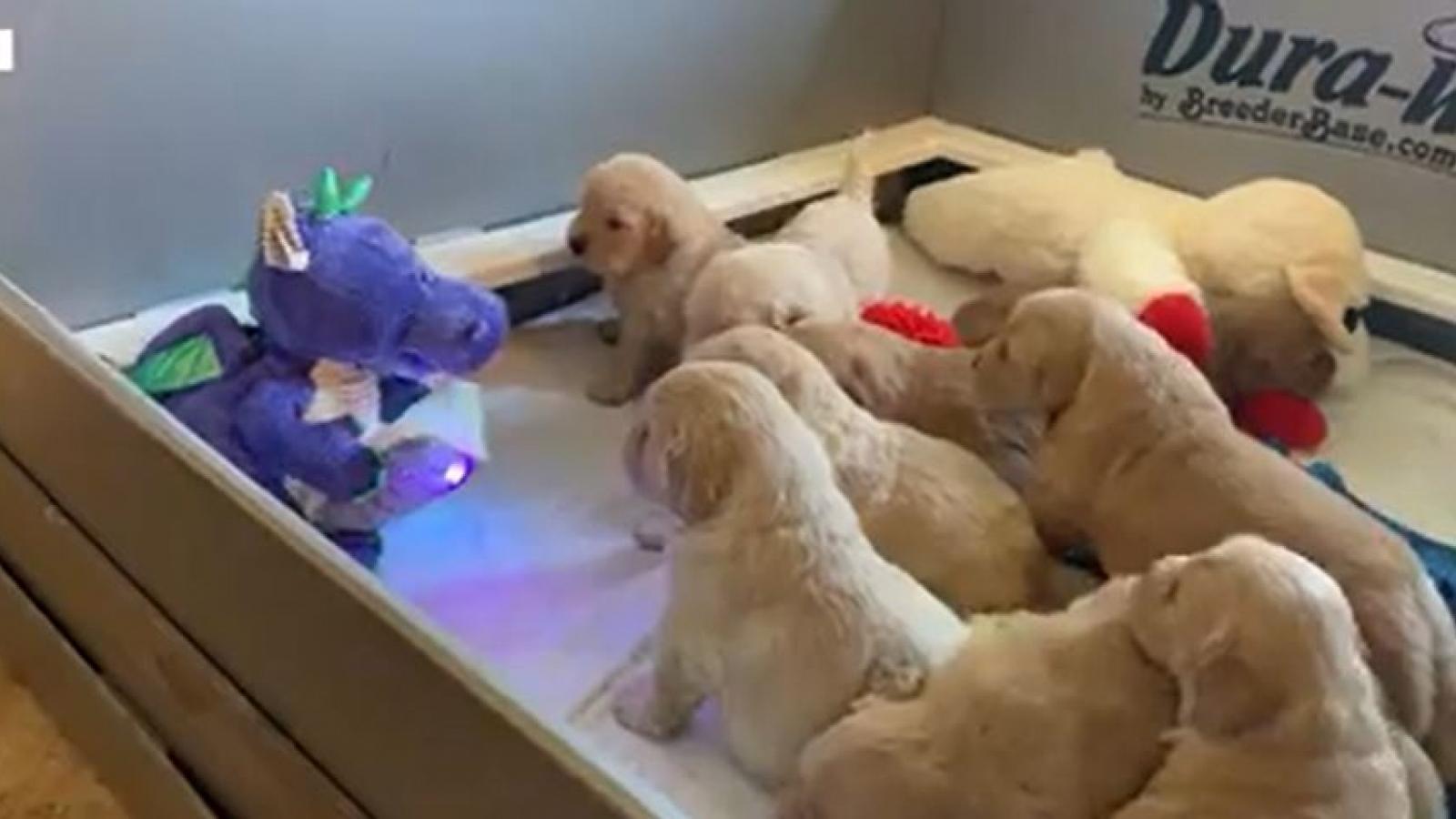 Video: Bật cười đàn cún con tò mò xem chú rồng nhồi bông kể chuyện