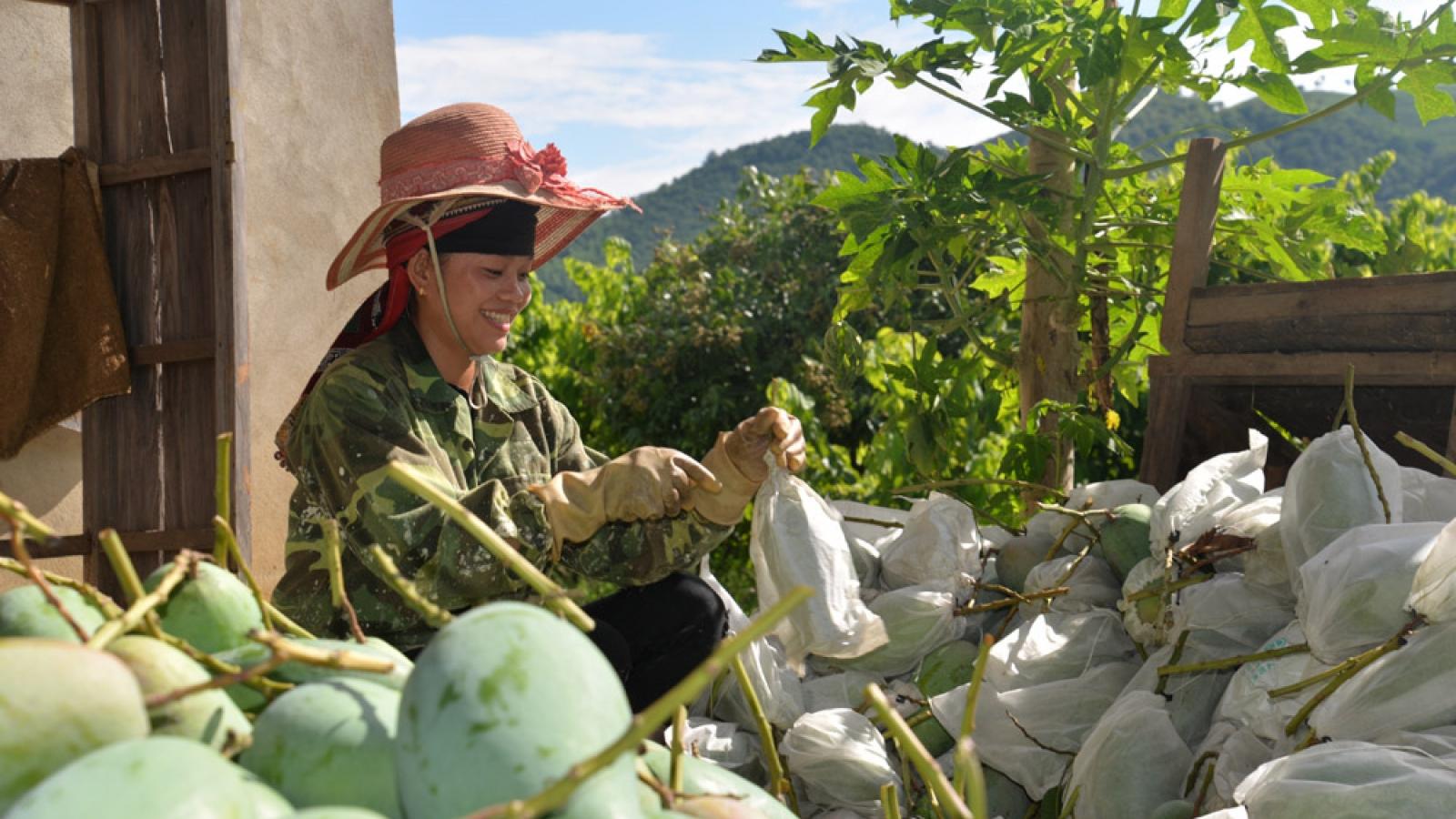 Sơn La xuất khẩu 30 tấn xoài đầu tiên sang thị trường Mỹ