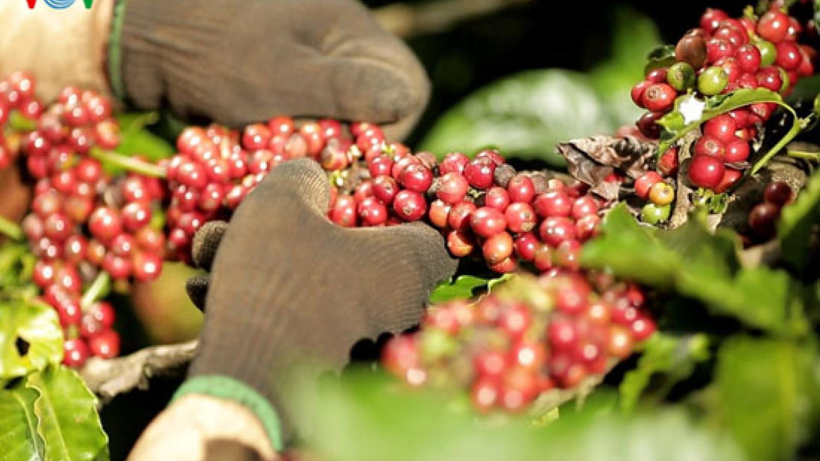 6 tháng đầu năm, xuất khẩu cà phê đạt hơn 1,6 tỷ USD