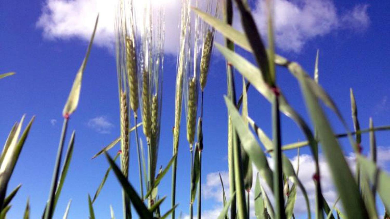 Bị Trung Quốc làm khó, Australia tìm thị trường mới cho lúa mạch