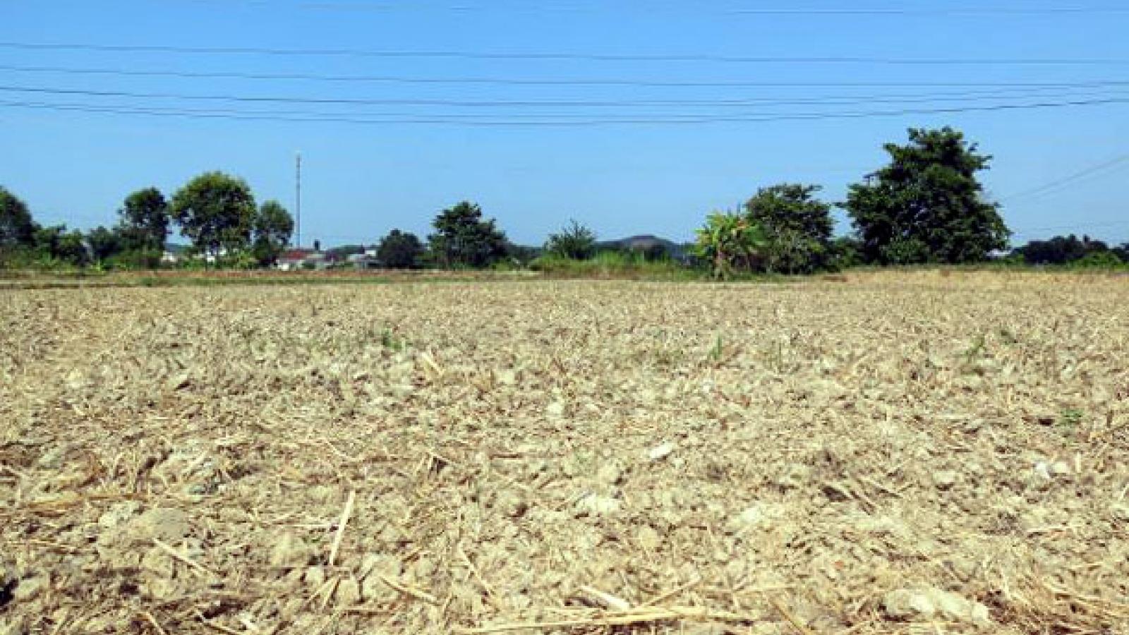 Hạn hán gay gắt, Quảng Ngãi hướng chuyển đổi cơ cấu cây trồng