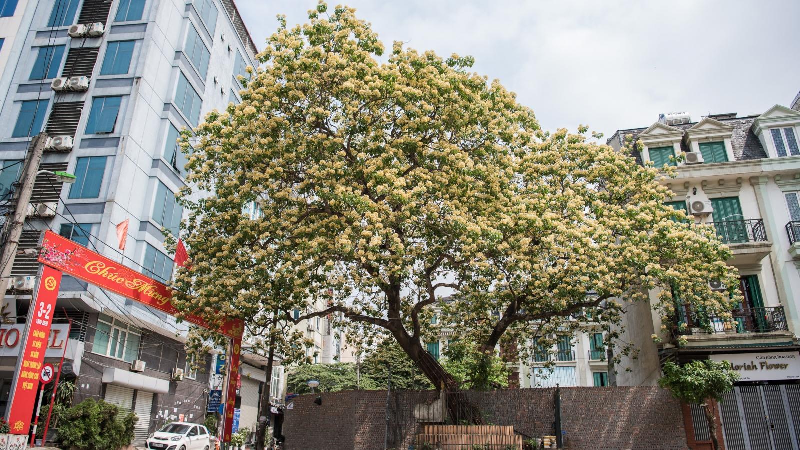 Cây bún 300 tuổi nở hoa vàng rực một góc trời Hà Nội