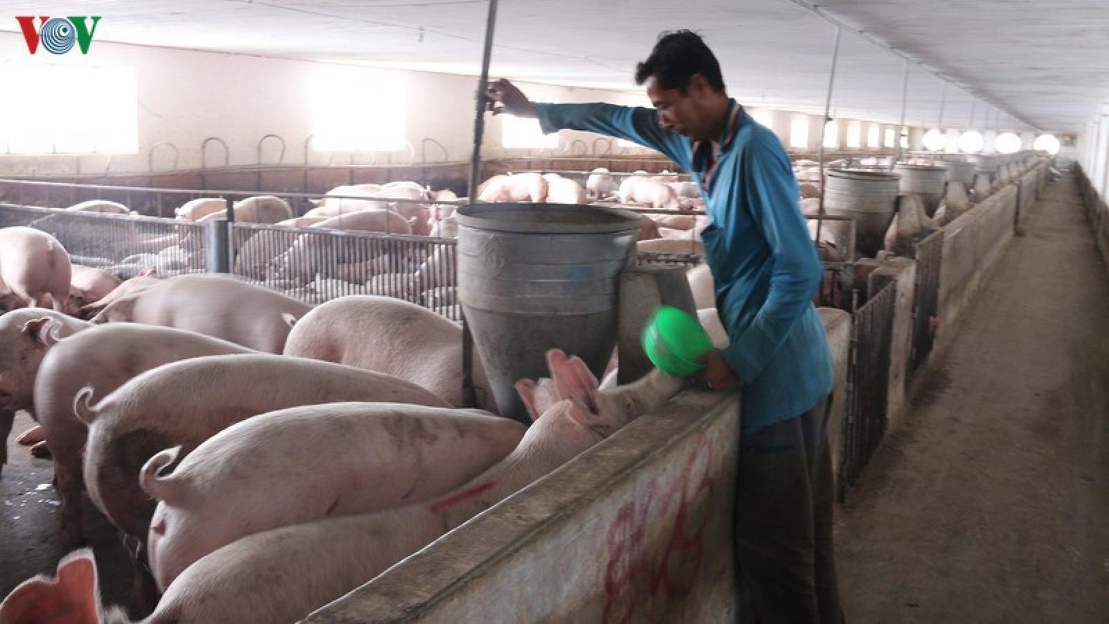 Cuối quý 3 sẽ đáp ứng đủ nguồn cung con giống phục vụ tái đàn lợn