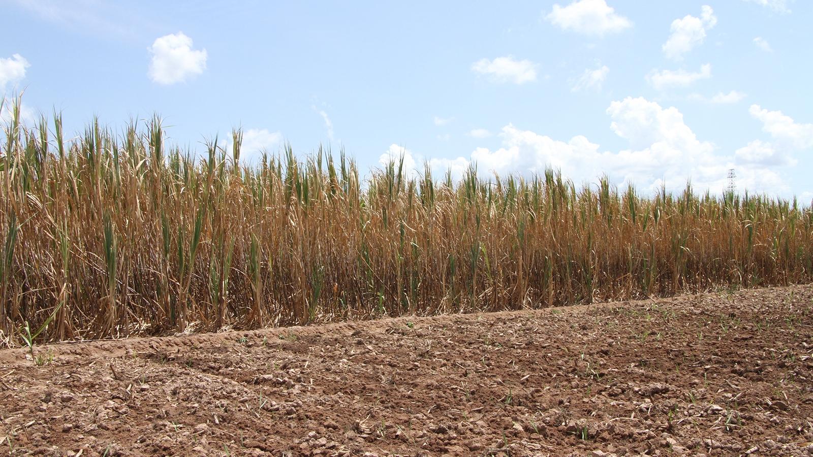 Thương lái vắng bóng, 150 ha mía có nguy cơ chết khô