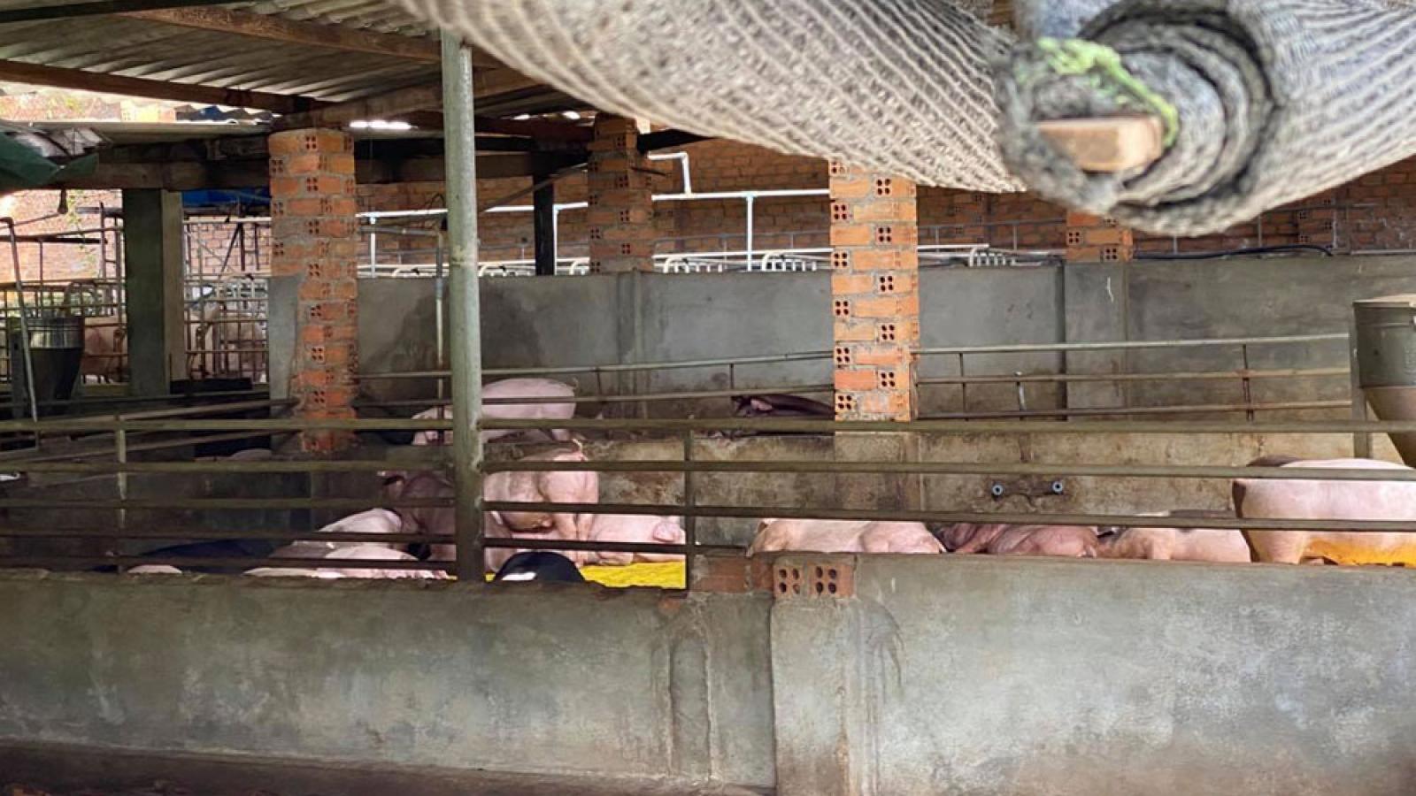 Trang trại nuôi lợn gây ô nhiễm giữa thành phố Buôn Ma Thuột