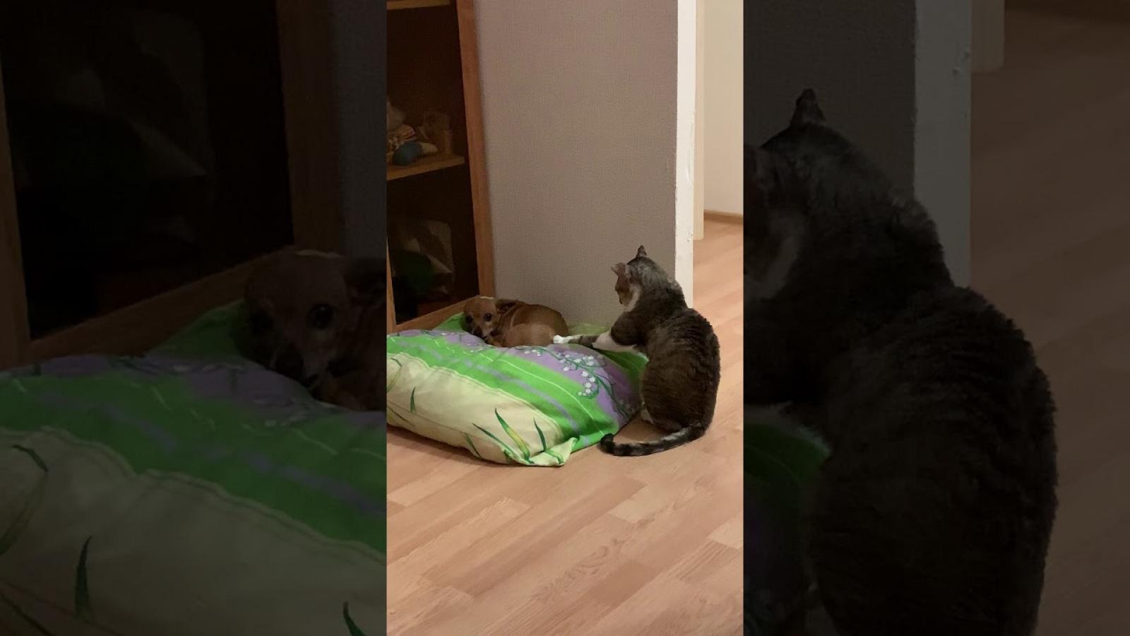 """Video: Cách chú mèo """"gây chú ý"""" với chó con"""