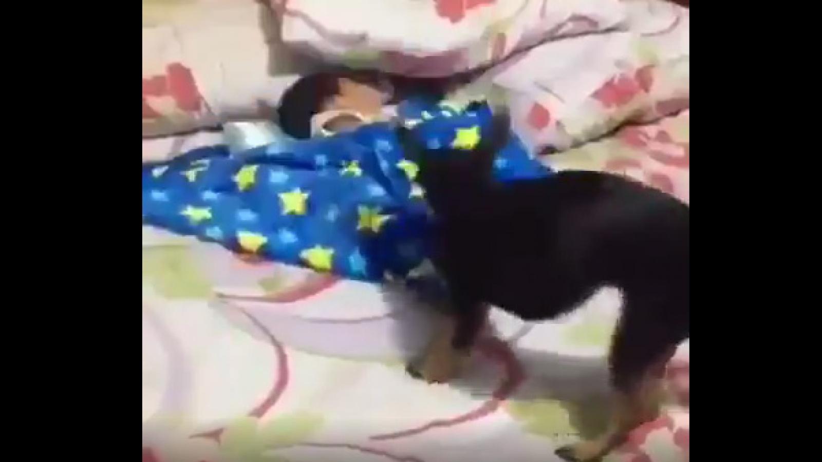 Video: Chú chó thông minh biết đắp chăn cho em bé đang ngủ