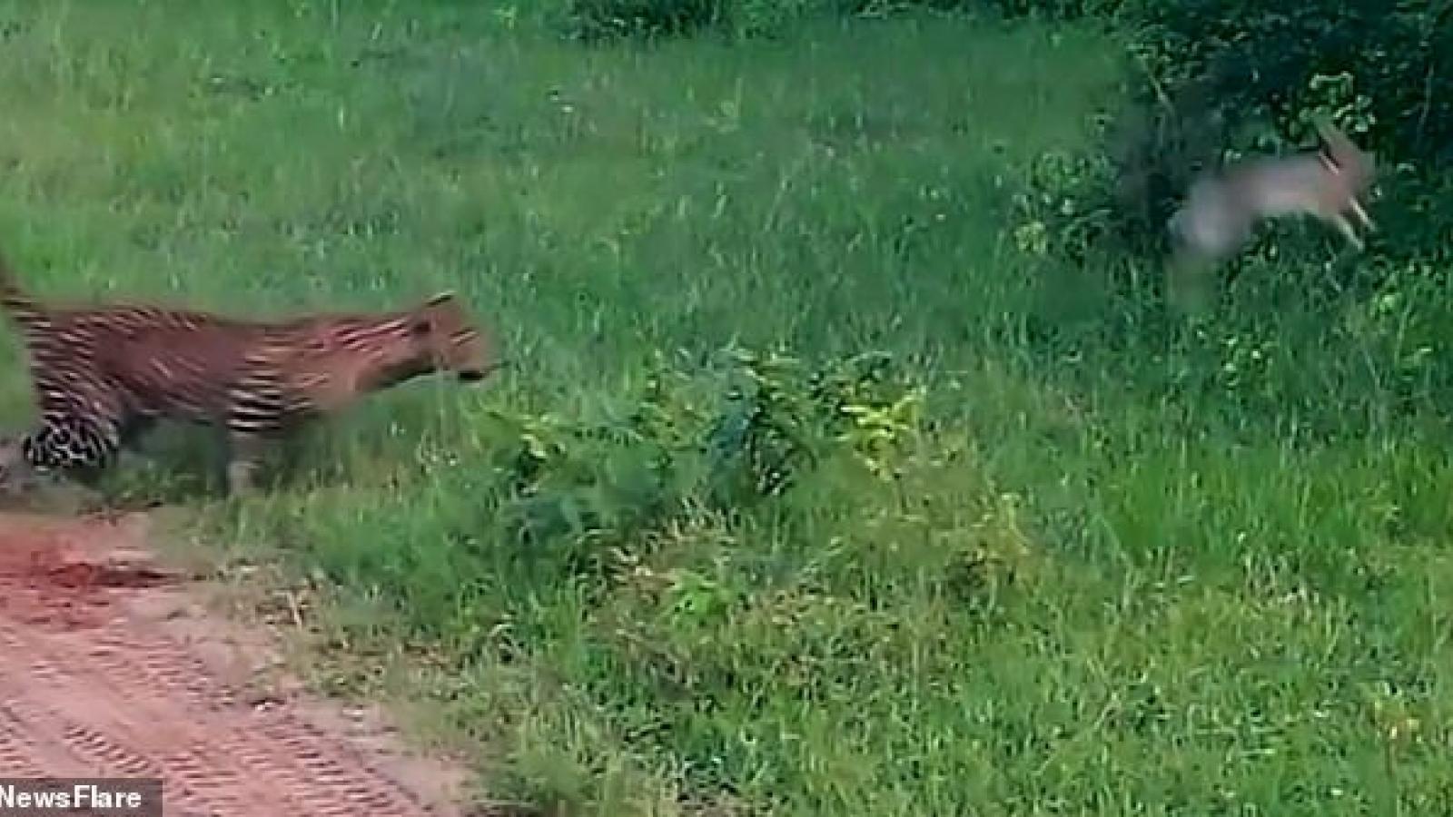 Video: Bị báo đốm rượt đuổi, thỏ thoát chết trong gang tấc