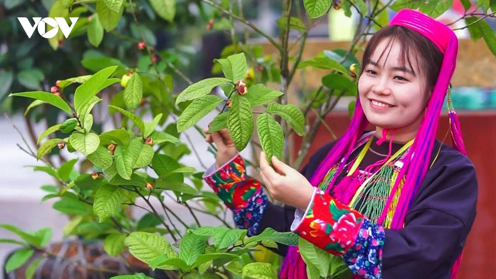 Trà hoa vàng sản phẩm nông nghiệp chất lượng cao của đồng bào Ba Chẽ
