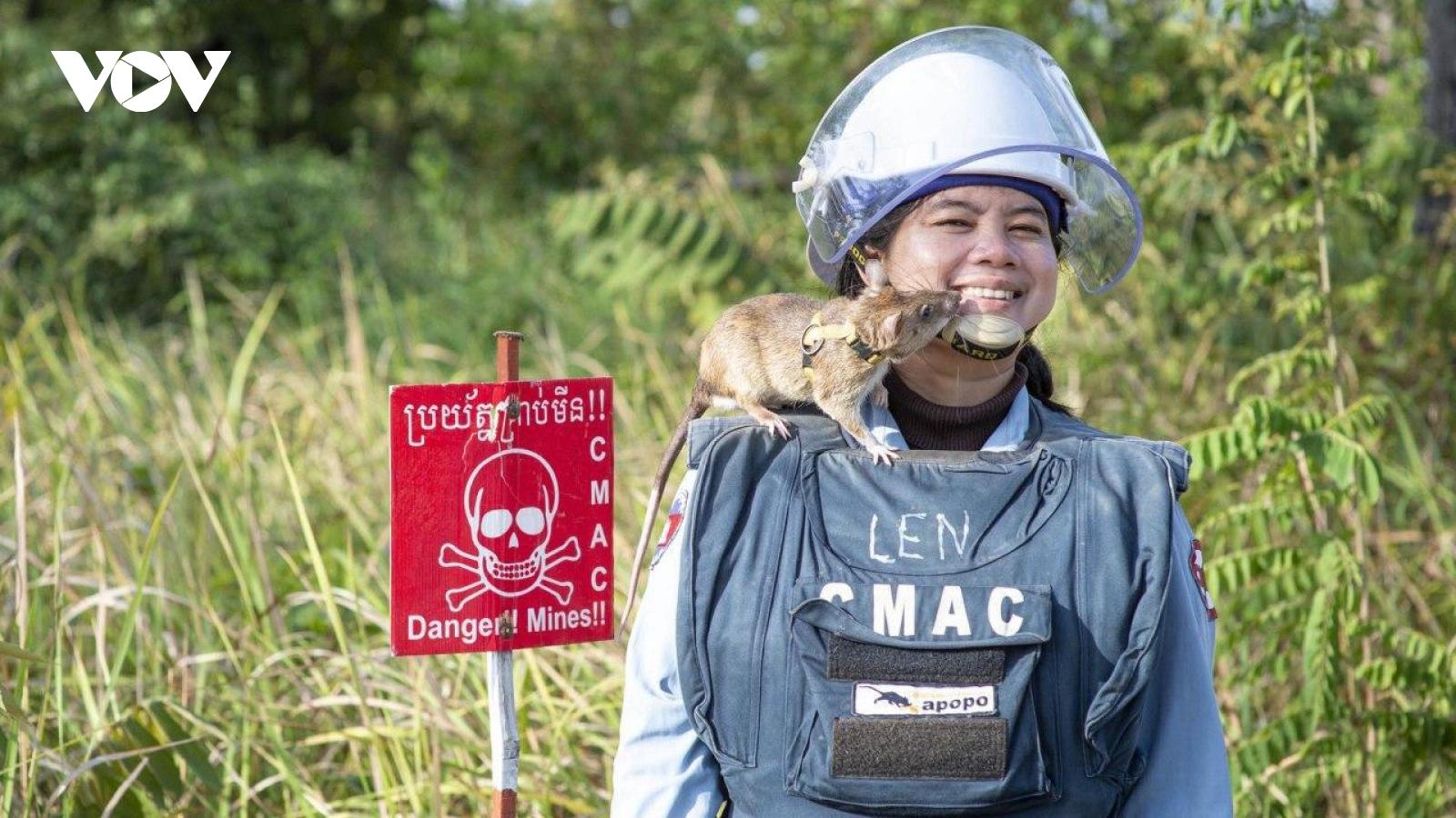 Chú chuột được trao huy chương vàng vì thành tích dò mìn tại Campuchia