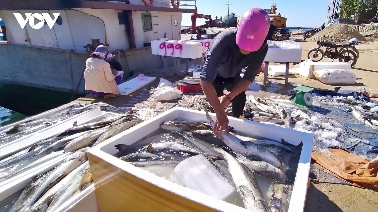 Cá bớp nuôi Lý Sơn chết hàng loạt do thời tiết