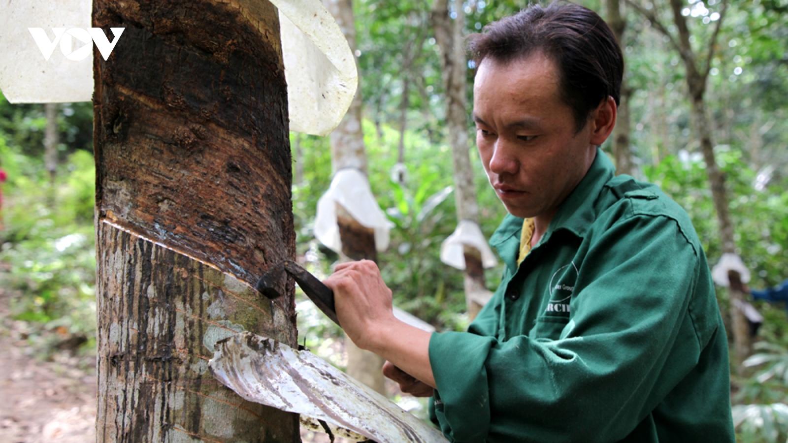 """Bản làng vùng cao Lai Châu """"hửng sáng"""" nhờ cây cao su"""