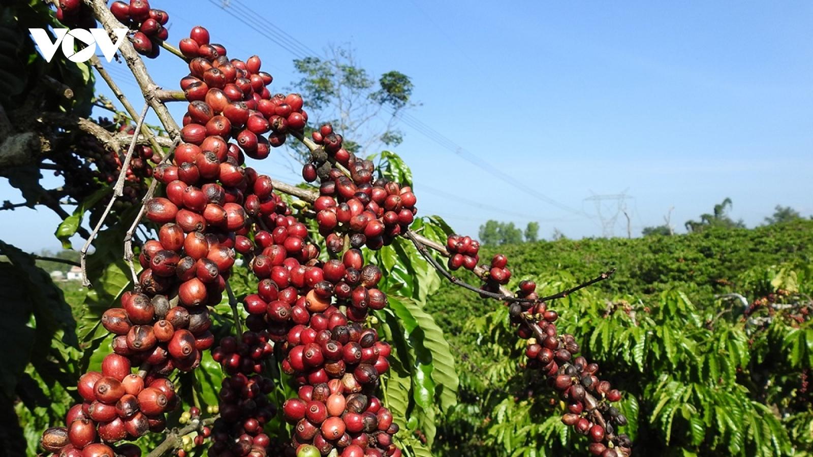 Liên kết chuỗi cà phê ở Tây Nguyên: Nhiều kỳ vọng từ 5.000 ha đầu tiên