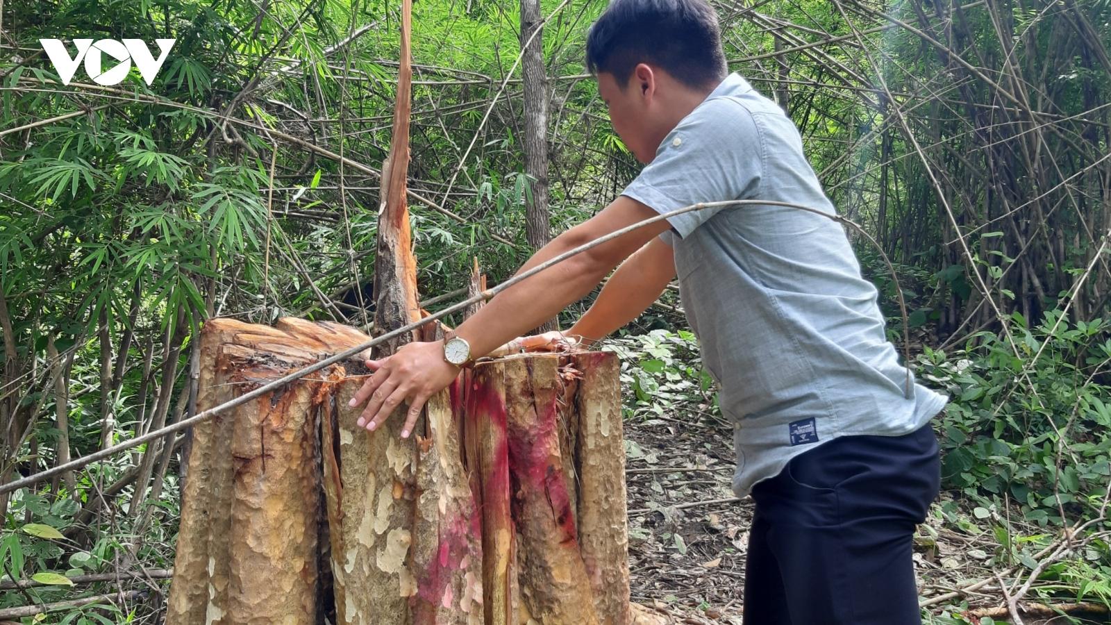 Khai thác gỗ trái phép, một người ở Gia Lai bị gỗ đè chết