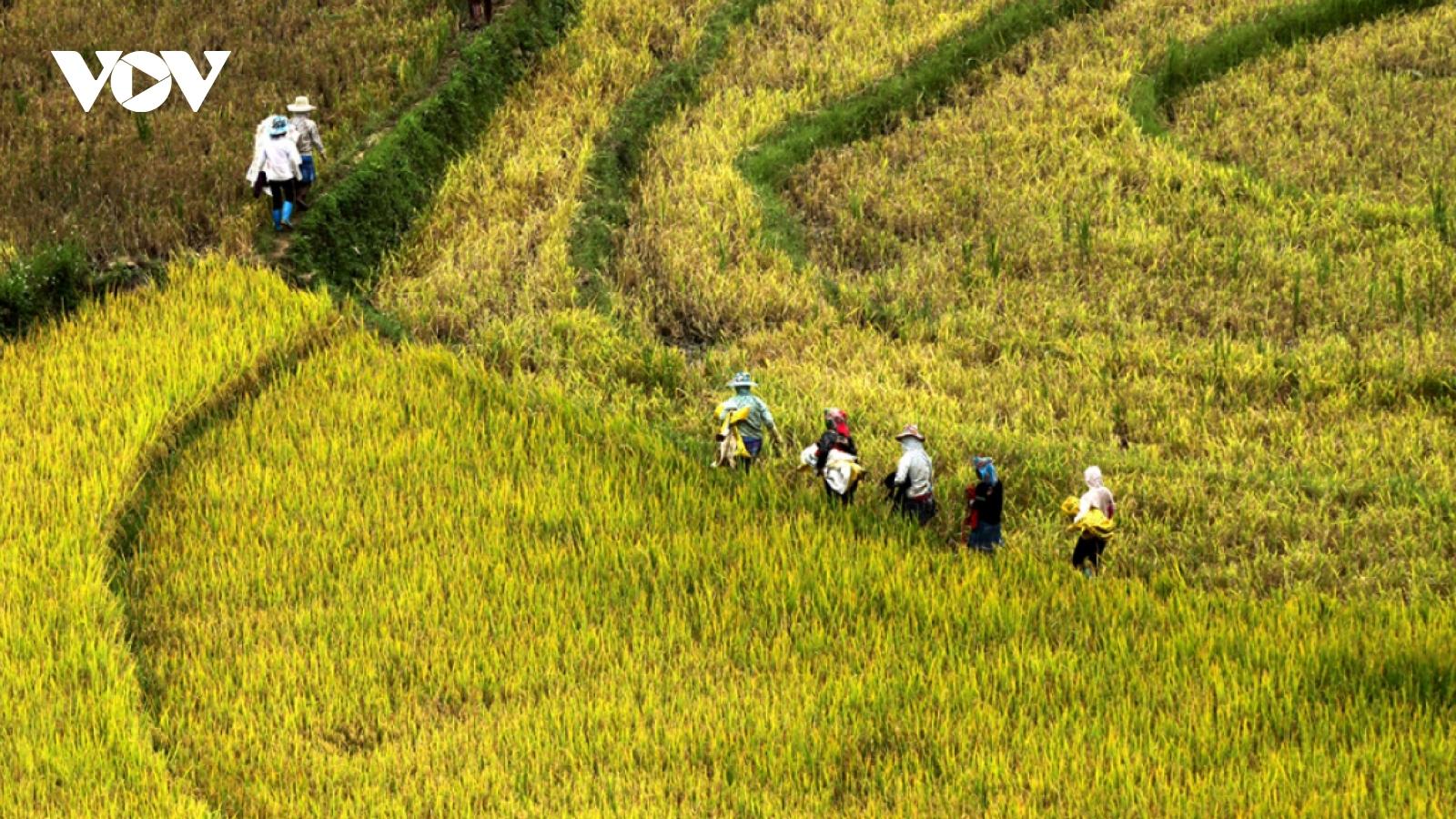 Rice harvest season begins in Ta Leng town