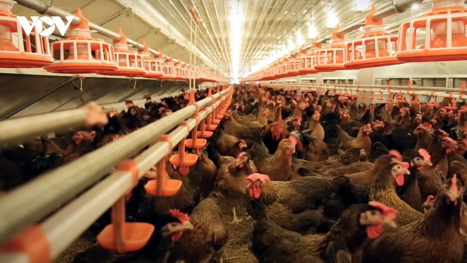 Nông dân đất Võ thành đạt từ giống gà ta thuần chủng