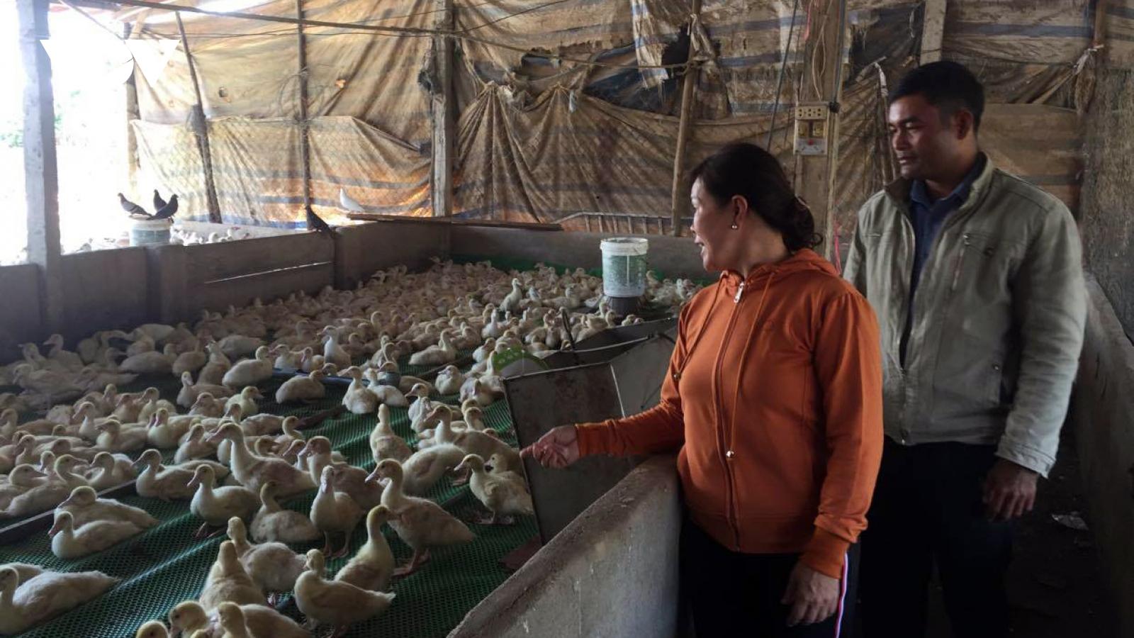 Lâm Đồng hơn 3.000 hộ chăn nuôi lợn chưa thể tái đàn sau dịch