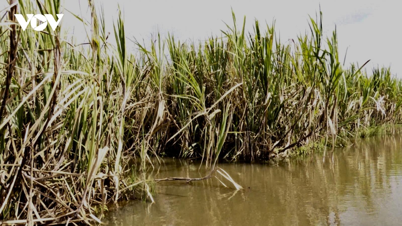 Hơn 1.100 ha mía ở Hậu Giang có nguy cơ thiệt hại do ngập úng