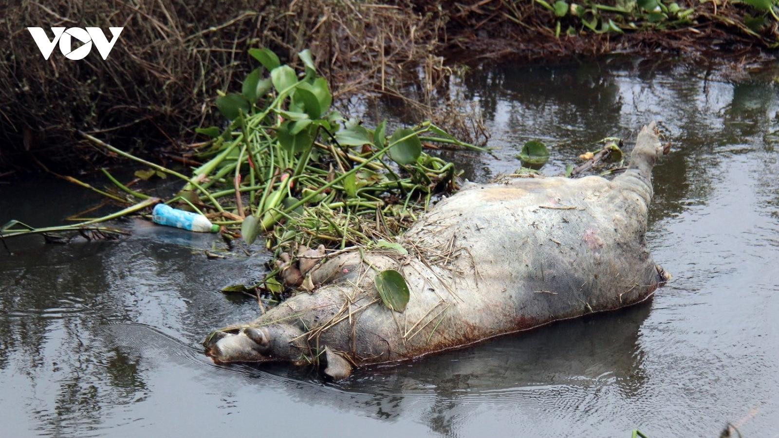 Bùng phát dịch lở mồm long móng trên đàn gia súc ở Quảng Nam