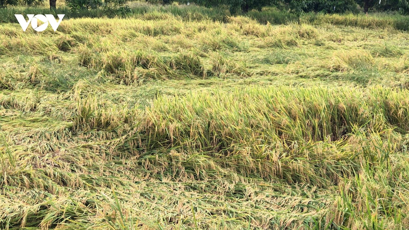 Mưa dông gây khó khăn trong thu hoạch lúa Thu Đông