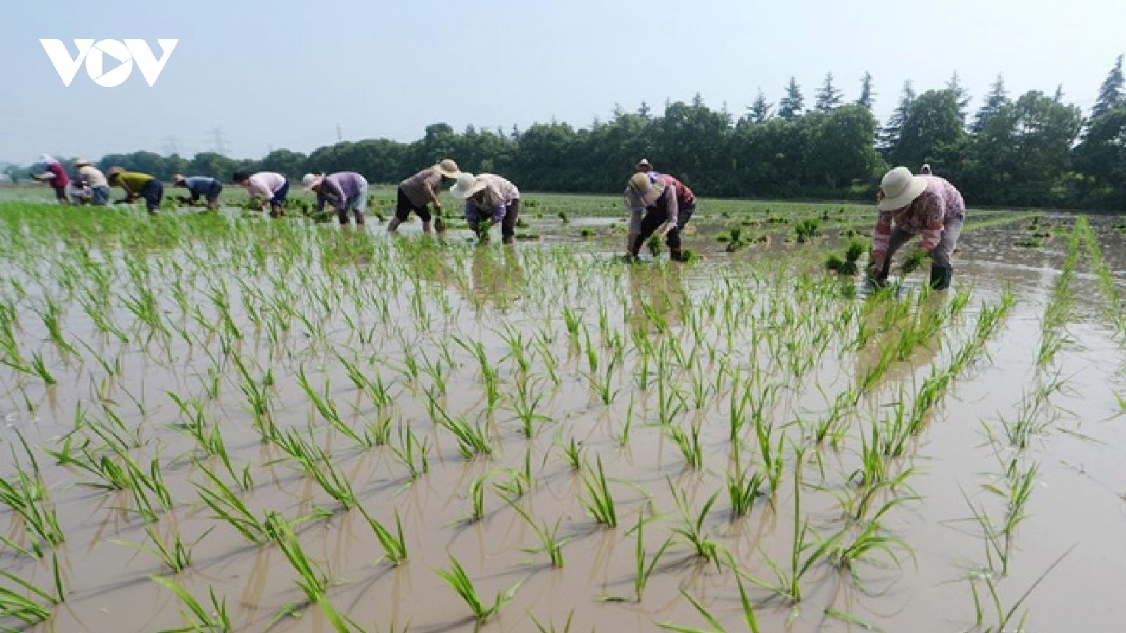 Mô hình nuôi tôm - lúa vùng nhiễm mặn thu nhập 60-70 triệu đồng/ha/năm