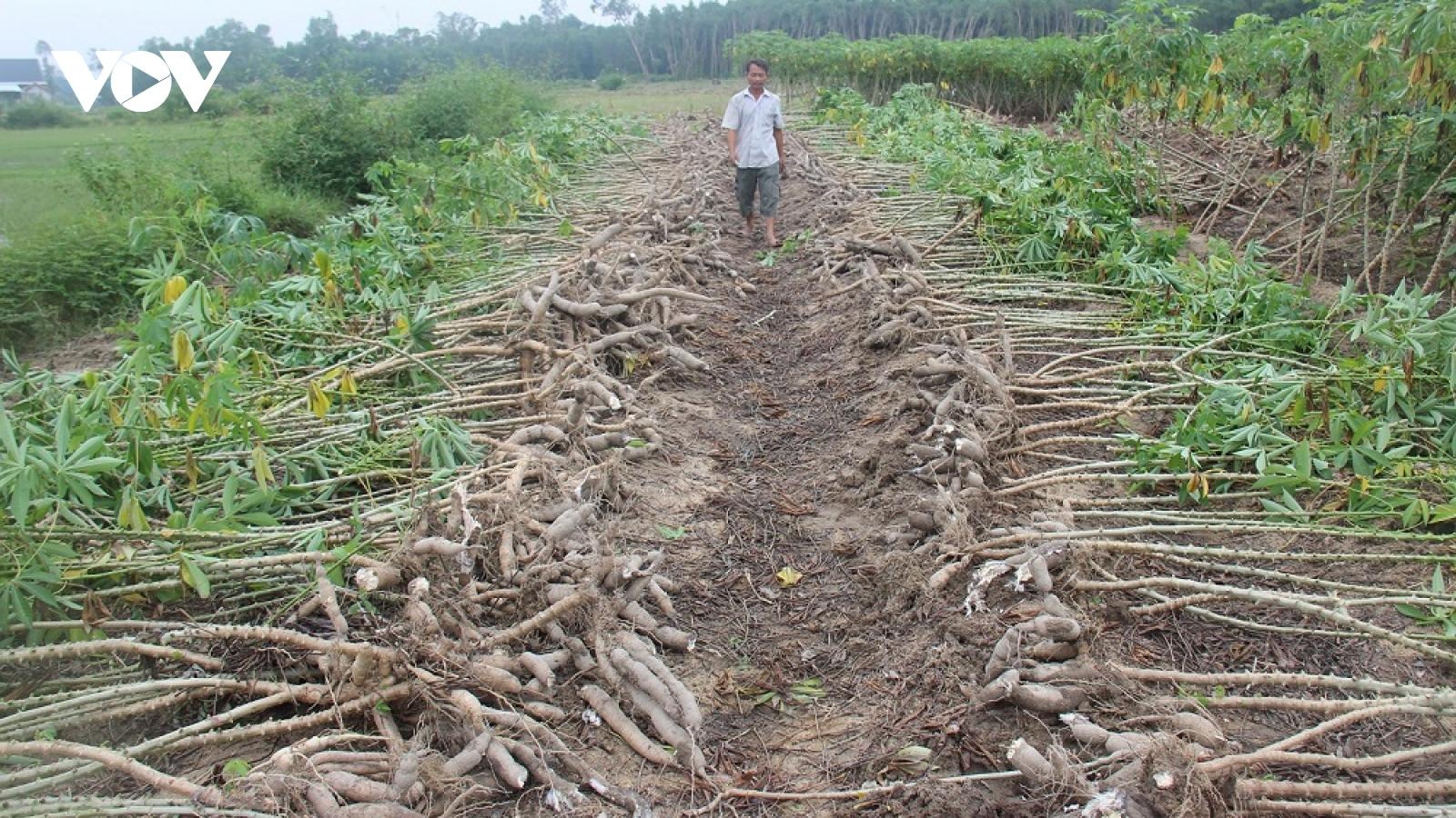 Xót cảnh nông dân Quảng Nam đổ sắn xuống ruộng
