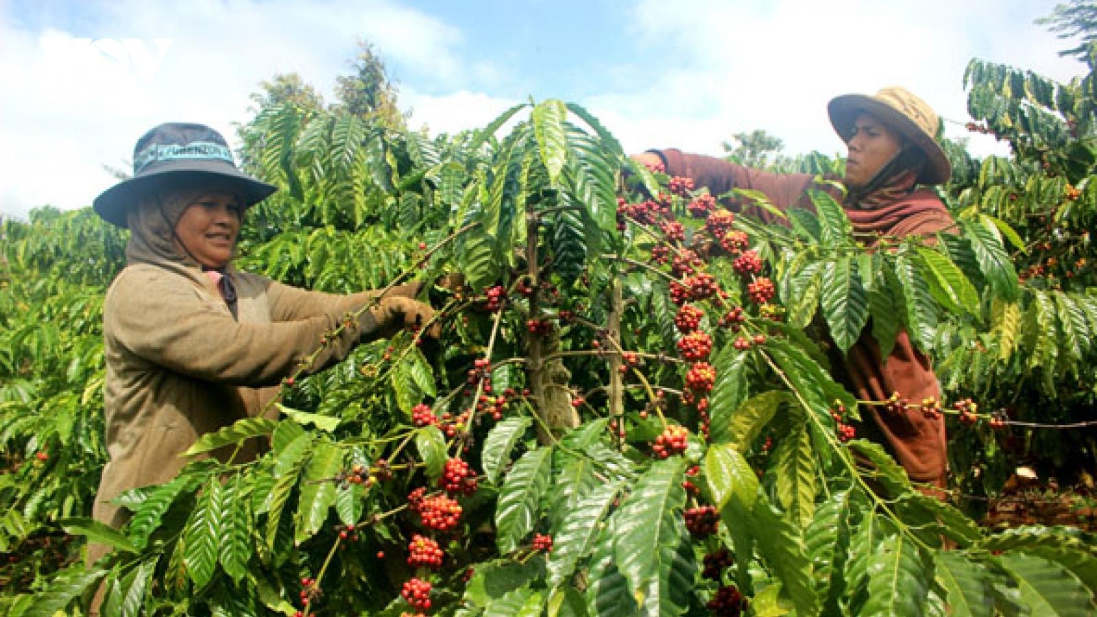Để bán được giá, phải chú trọng đến chất lượng cà phê từ khâu thu hoạch