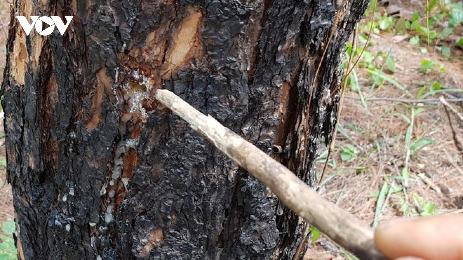 Đầu độc rừng thông để lấn chiếm đất mặt đường