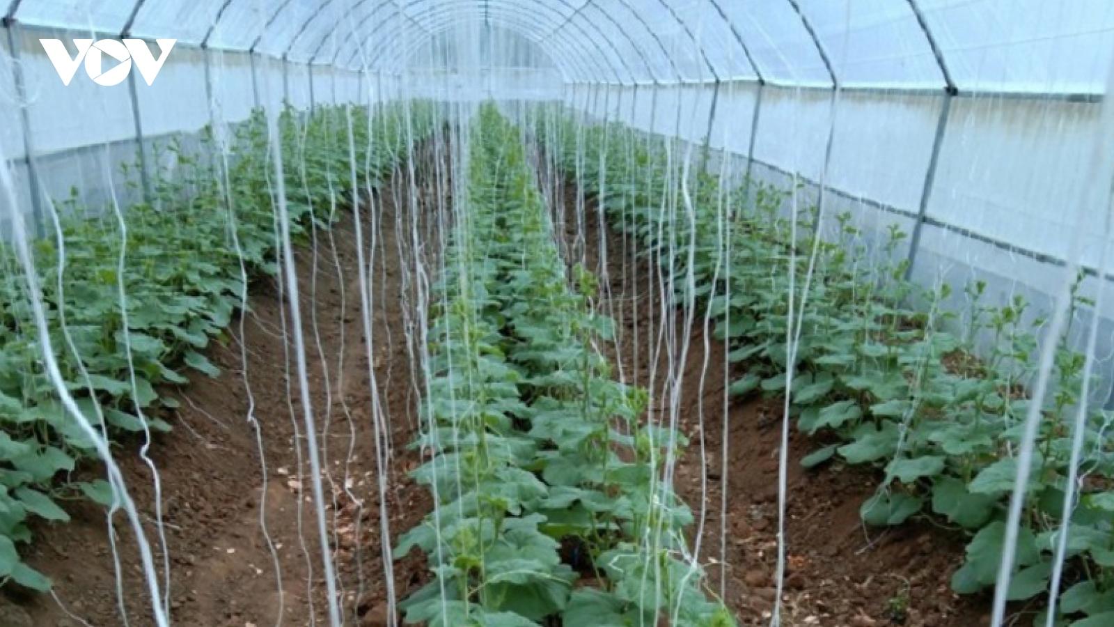 Phát triển nông nghiệp công nghệ cao ở Ninh Thuận còn khó khăn