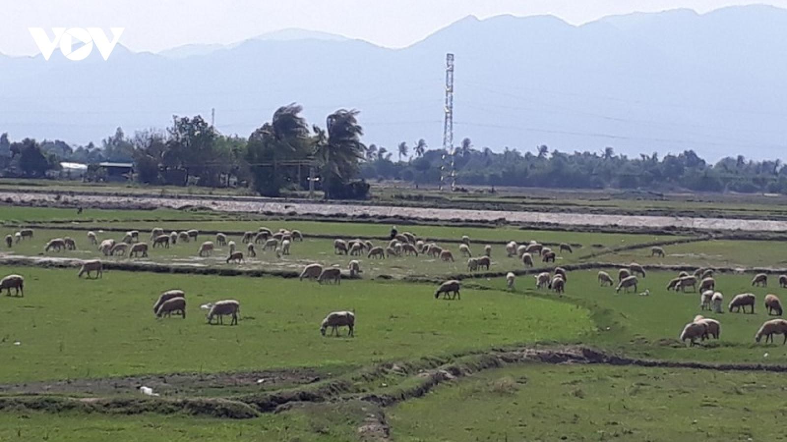 Ninh Thuận chuyển đổi sản xuất ứng phó với hạn hán
