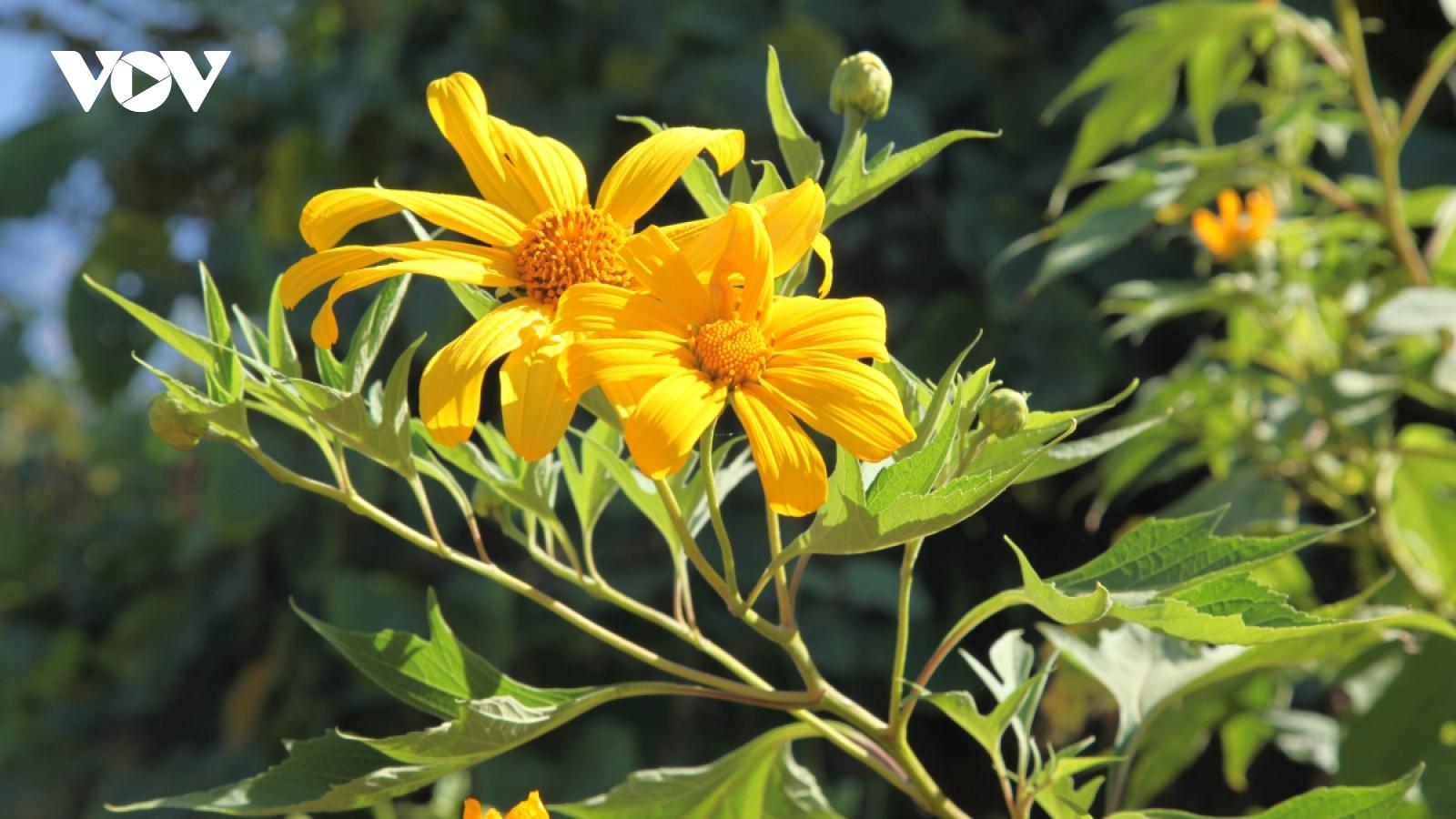 Wild sunflowers paint Dien Bien province bright yellow