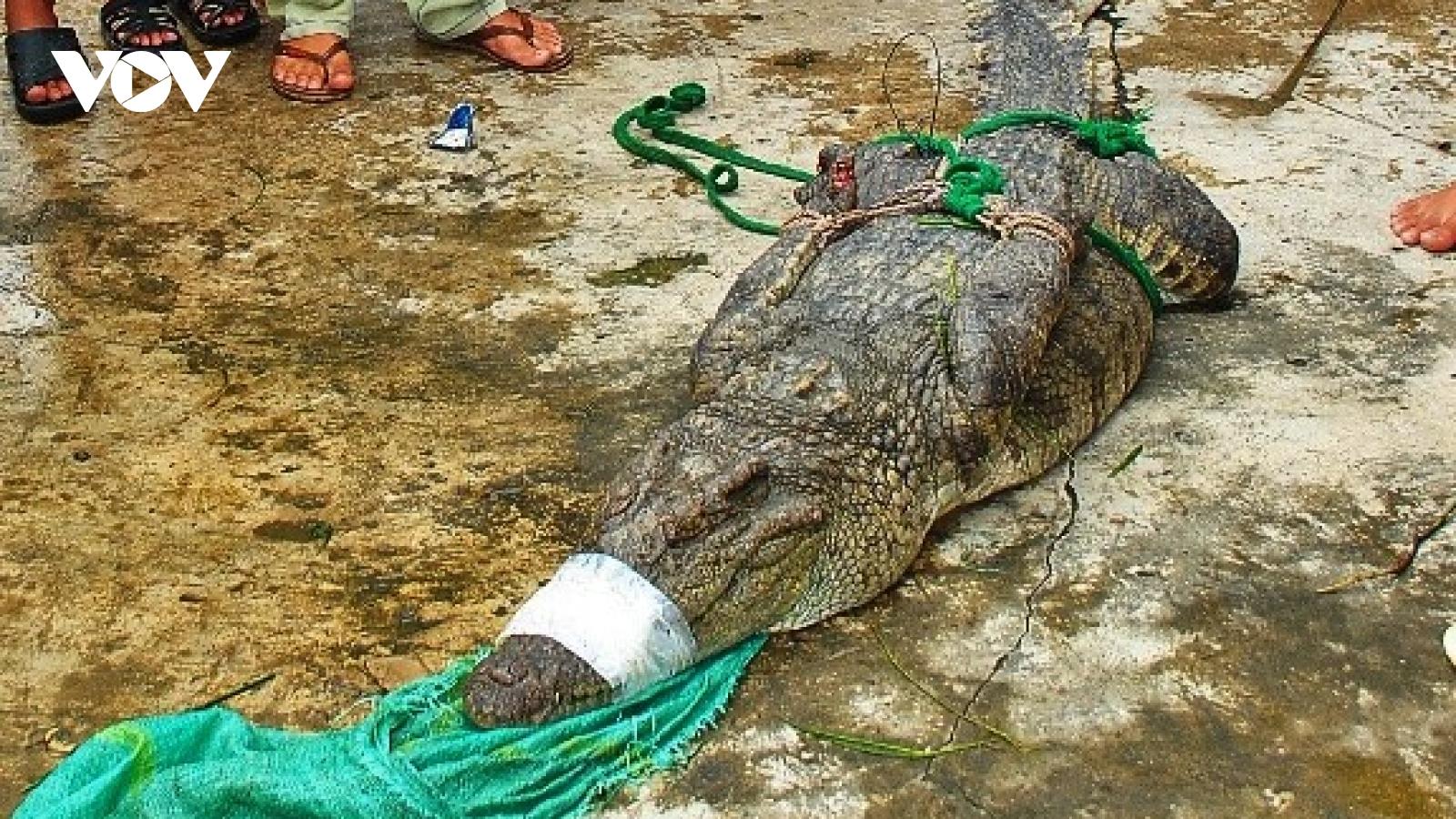 Phát hiện thêm 2 con cá sấu nặng hàng chục kg sổng chuồng