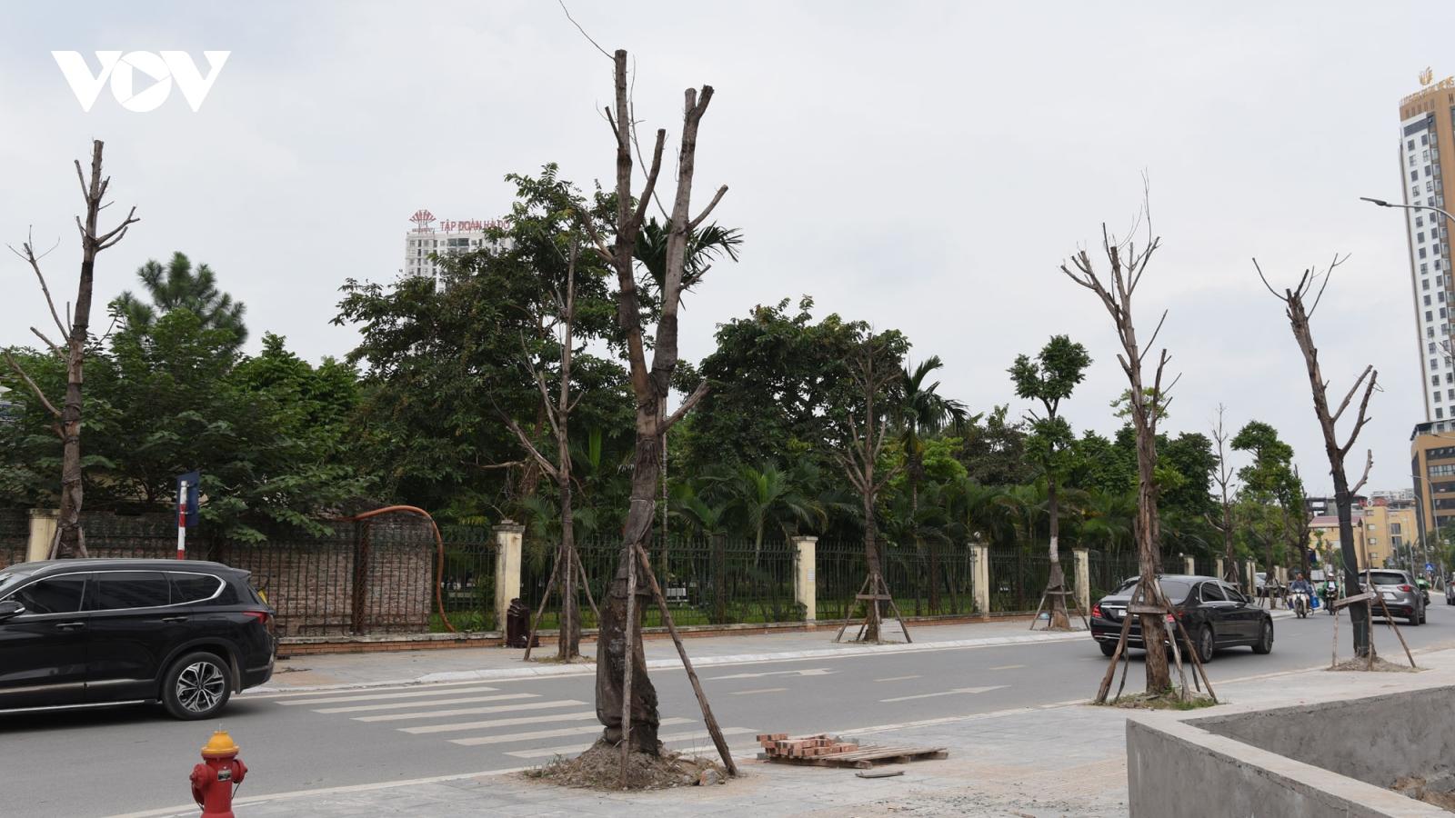 Cây mới trồng chết khô trên phố mới ở quận Cầu Giấy