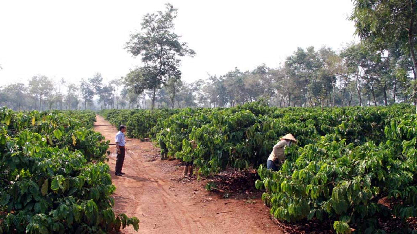 Cải thiện thu nhập từ cà phê chỉ bằng con đường chất lượng