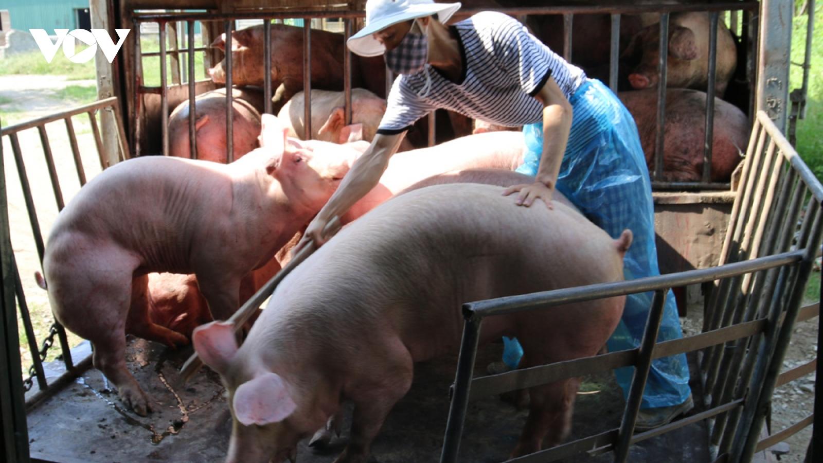 Giá lợn tăng, dịch tả lợn tái phát, người chăn nuôi thấp thỏm lo âu