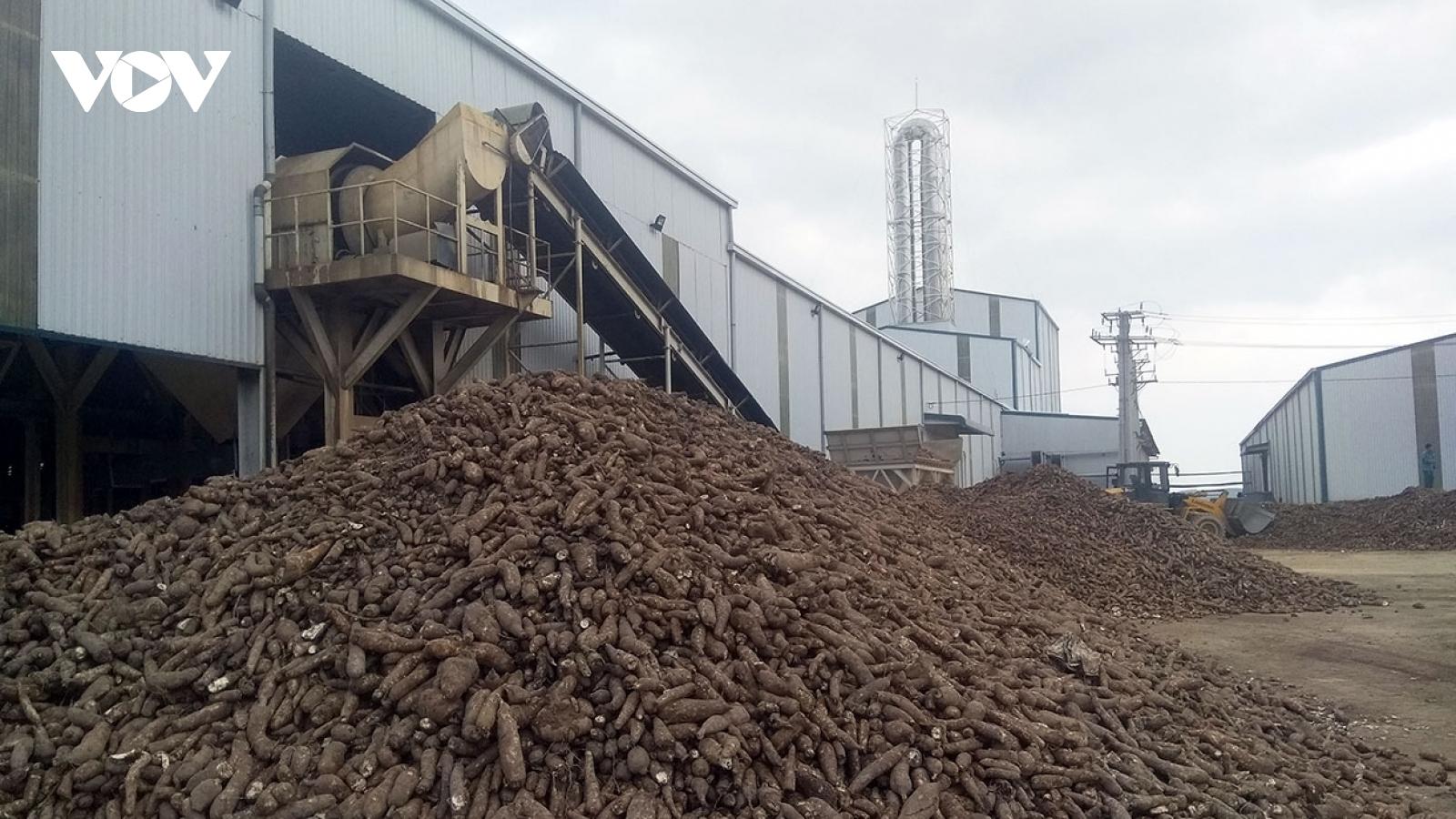 Các nhà máy ở Kon Tum duy trì thu mua sắn vùng ngập cho nông dân