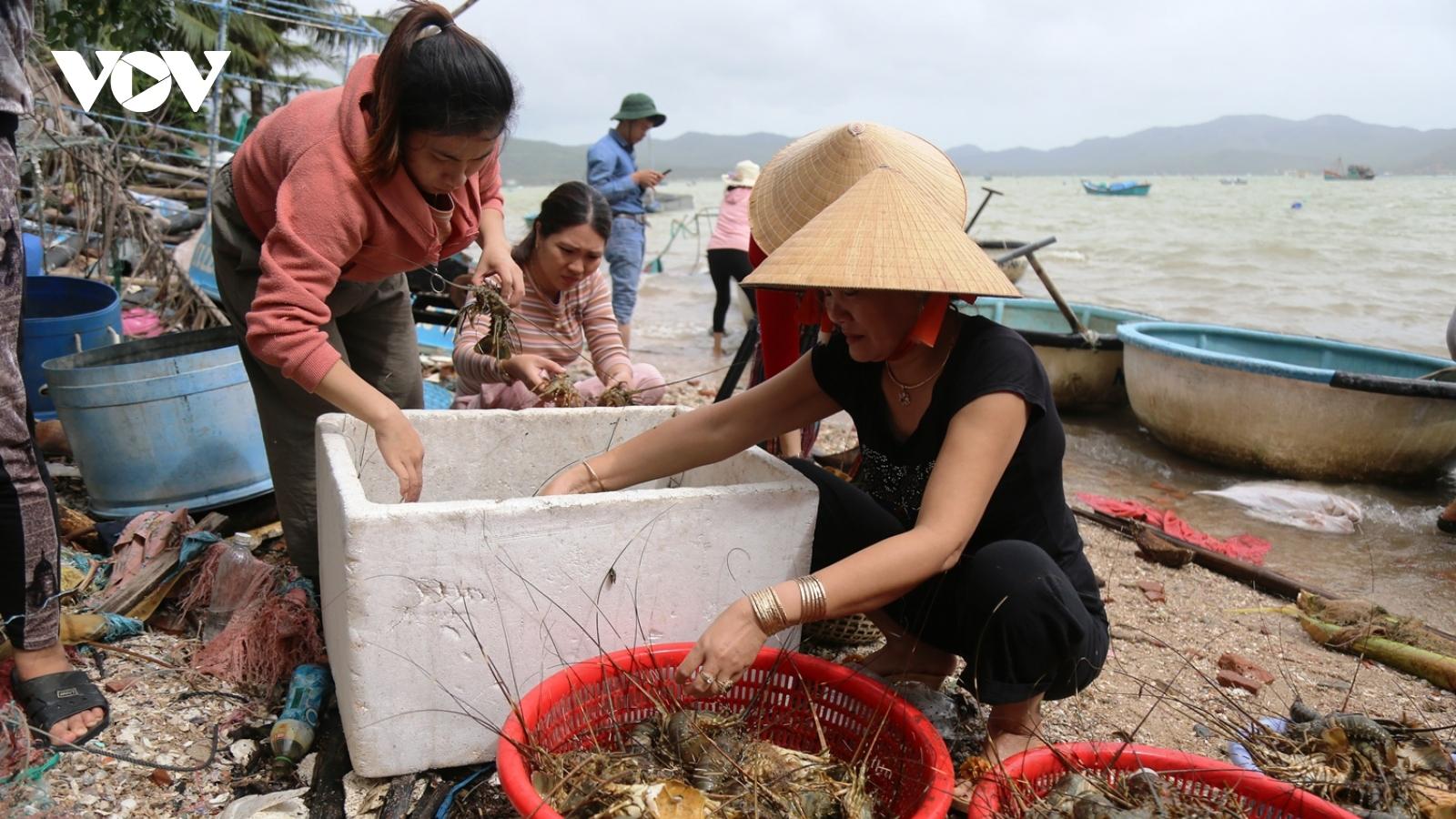 Cần có giải pháp bền vững cho nghề nuôi tôm hùm lồng ở Phú Yên