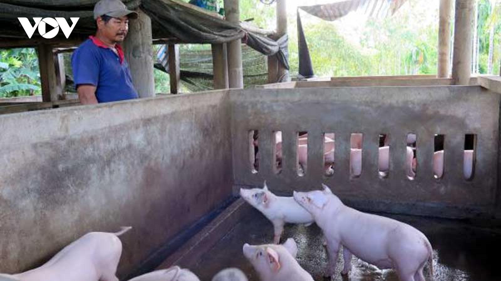 Chặn dịch tả lợn châu Phi để đảm bảo nguồn cung dịp Tết