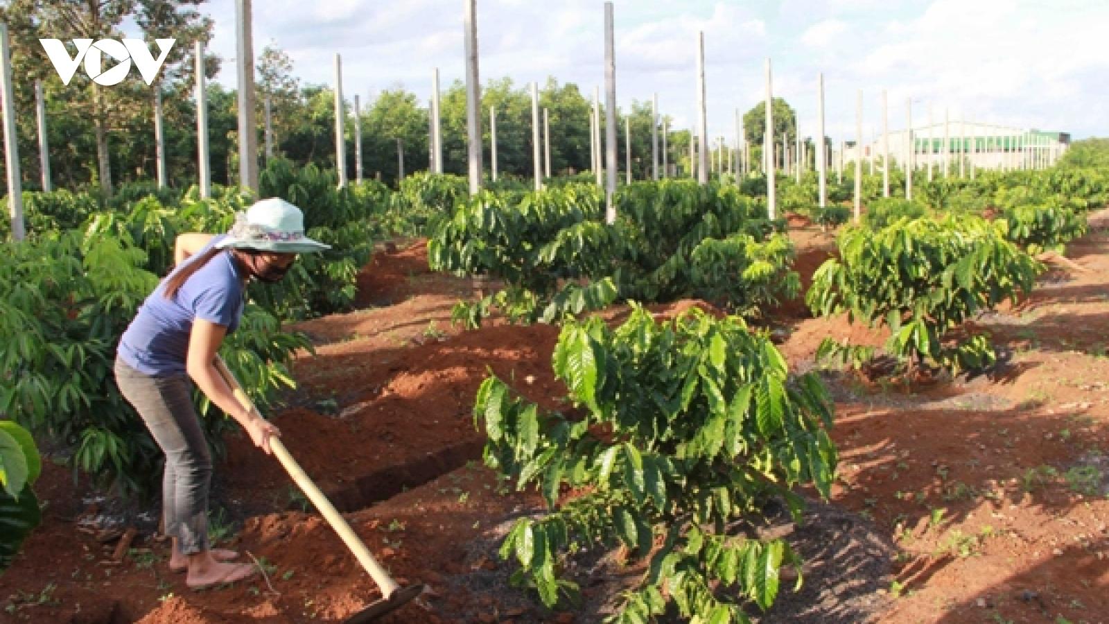 Năng suất cà phê Đắk Lắk vượt trội từ chương trình tái canh