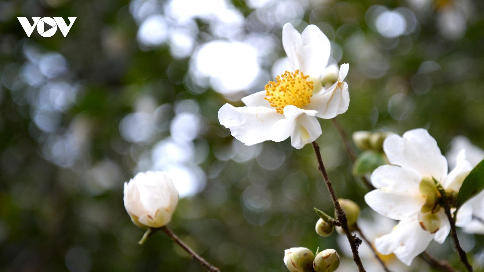 Lên biên cương ngắm hoa Sở nở trắng rừng